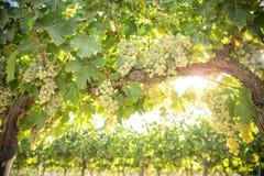 Заводы виноградных лоз с интенсивной зеленой виноградиной стоковое фото
