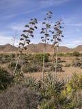 Заводы в Альмерии, Испания столетника Стоковое Изображение