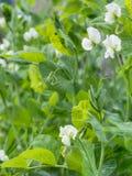 Заводы гороха сада в цветке овощи продуктов свежего рынка земледелия Стоковое фото RF