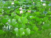 заводы лилии Стоковые Изображения