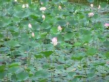заводы лилии Стоковое фото RF