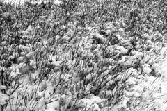 Заводы и картины снега - черно-белые Стоковые Изображения RF