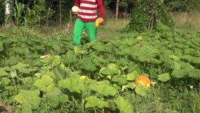 Заводы и прогулка цукини сбора ковбоя фермера через плантацию овоща фермы 4K сток-видео