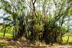 Заводы кактуса на Моргане Левисе, Барбадос Стоковые Изображения RF