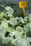 Заводы капусты в парнике Стоковое Фото