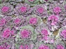 Заводы капусты крупного плана фиолетовые в саде Стоковая Фотография RF