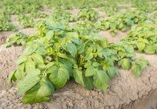Заводы картошки от конца Стоковое Изображение RF