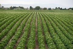 Заводы картошки растут продовольственная сельскохозяйственная культура земледелия фермы Айдахо Стоковые Фотографии RF