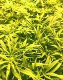 Заводы марихуаны - море зеленого цвета Стоковая Фотография RF