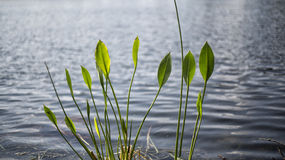 Заводы озера в Lake County Clermont Флориде Стоковые Фото