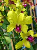 Заводы орхидеи орнаментальные Стоковое Фото