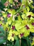 Заводы орхидеи орнаментальные Стоковое Изображение