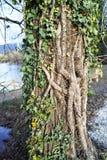 Заводы покрыли ствол дерева Стоковое фото RF