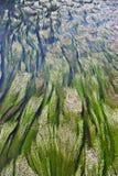 заводы под водой Стоковая Фотография