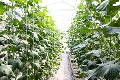 Заводы растя внутри зеленого дома Стоковое Изображение