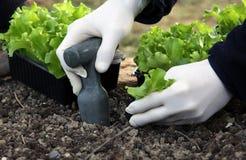 Заводы салата молодые засаживая на саде кладут в постель Стоковое фото RF