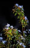Заводы снега Стоковое фото RF