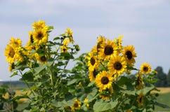 Заводы солнцецвета цветя в сельском саде Стоковое Изображение