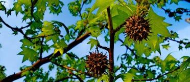 Заводы с терниями и зелеными листьями Стоковое фото RF