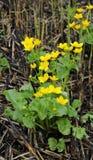 Заводы с яркими желтыми цветами. L. palustris Сaltha. Стоковое Изображение