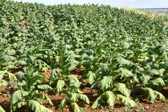 Заводы табака в поле Стоковая Фотография