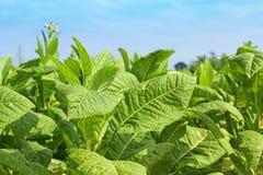 Заводы табака Стоковое фото RF