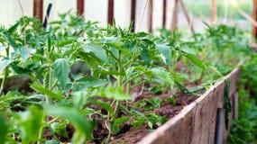 Заводы томата в оранжерее Стоковое фото RF