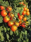 Заводы томата растя в саде Томаты зреют постепенно Италия Тоскана стоковые изображения rf