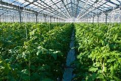 Заводы томата Стоковые Изображения