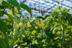 Заводы томата Стоковая Фотография RF