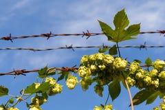 Заводы цветка завязанные колючей проволокой Стоковые Фотографии RF
