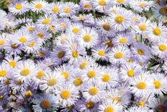 заводы Цветки gentle белые маргаритки Стоковые Изображения