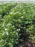 Заводы Flowerings картошки Стоковая Фотография