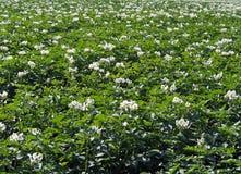 Заводы Flowerings картошки Стоковое Изображение