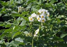 Заводы Flowerings картошки Стоковая Фотография RF