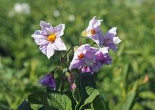 Заводы Flowerings картошки Стоковое Изображение RF