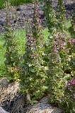 Заводы Lactuca sativa Стоковая Фотография RF