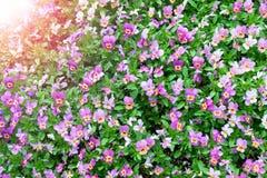 Заводы Pansy культивируемые как цветки сада Pansies Виолы в саде Природа красотки Стоковая Фотография