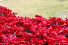 Заводы Poinsettia Стоковые Фото