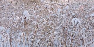 Заводы Reed в зиме Стоковое Фото