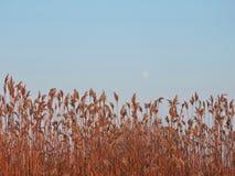 Заводы Reed стоковые фотографии rf