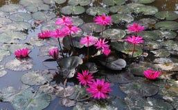 Заводы Waterlily на пруде Стоковые Изображения RF