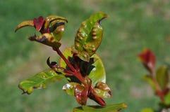 Завод Australe Syzygium с инвазией яичка psyllid Стоковое Изображение RF