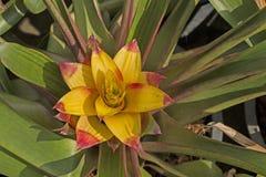 Завод Bromeliads Стоковые Фото