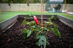 Завод Chili в саде в почве Стоковое Изображение RF