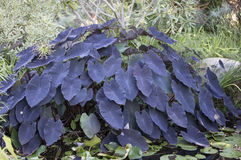 Завод Colocasia esculenta Стоковые Изображения