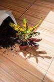 Завод Croton сада с почвой на деревенской предпосылке, космосе экземпляра Стоковое Изображение