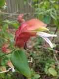 Завод Justicia Brandegeeana Blossoming в саде стоковое изображение