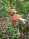 Завод Justicia Brandegeeana Blossoming в саде стоковые фотографии rf