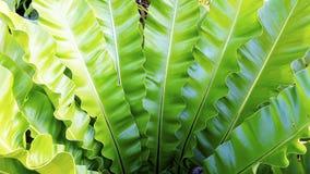 Завод nidus Asplenium папоротника естественный Стоковое Изображение RF